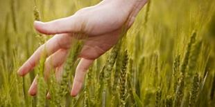 A hand grazing the top of wheat in a field